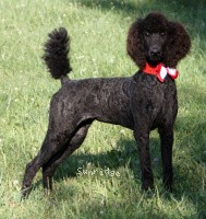 Sunridge Princess of My Dreamz, a blue standard poodle