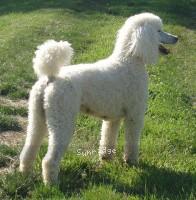 Amandi's Moonbeam, a white female Standard Poodle