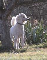 Sunridge Untouchably Elite, a white standard poodle for sale