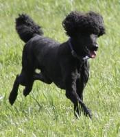 Brienwoods Impressive Leap, a black male Standard Poodle