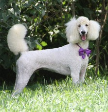 Sunridge Kiss of My Dreamz, a white female Standard Poodle