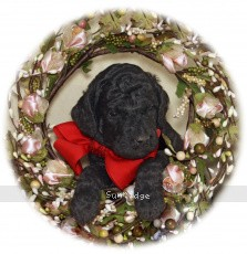 Ringo, a standard poodle puppy for sale
