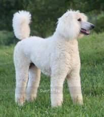 Sunridge Sweet Dreamz in the Moonlight, a white female Standard Poodle