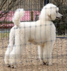 Parnell, a white standard poodle