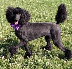 Zaree, a black standard poodle