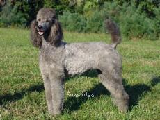Sunridge Warrior Princess, a silver standard poodle