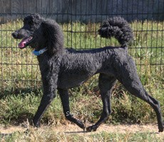 Brienwoods Goddess of the Night, a black female Standard Poodle