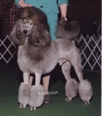 Terrifick Fancy Grey Tiamond, UCH~RN,BN, a silver male Standard Poodle