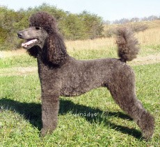 Sunridge Midnight Sonata, a blue standard poodle