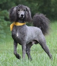 Yuma, a abstract silver male Standard Poodle