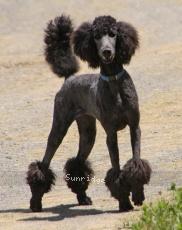 Sunridge Unforgettable Dreamz of Paris, a blue female Standard Poodle