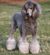 Prairieland I Got You Babe, a female Standard Poodle
