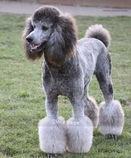 Mithril Rockin The Prairieland, a male Standard Poodle