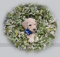 Morgan IV, a white male Standard Poodle puppy