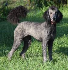 Sunridge Untouchable Twilight Dream, a silver female Standard Poodle