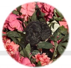 Sampson, a blue male Standard Poodle puppy