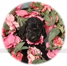 Peyton, a abstract blue female Standard Poodle puppy