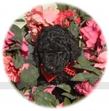 Regent, a blue male Standard Poodle puppy