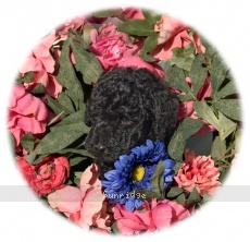 Loraleigh, a abstract black female Standard Poodle puppy