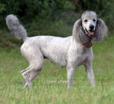 Mithril Piper In the Sky, a silver female Standard Poodle