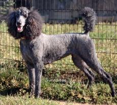 Sunridge Unforgettable Princess, a blue female Standard Poodle