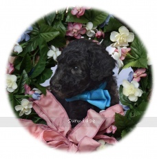 Blare, a silver male Standard Poodle puppy