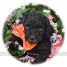 Oban, a silver male Standard Poodle puppy