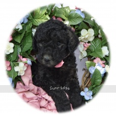 Dolly, a silver female Standard Poodle puppy