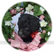 Wes, a silver male Standard Poodle puppy
