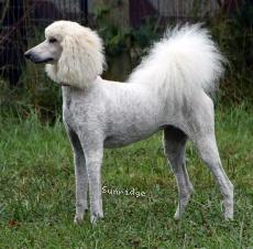 Sunridge Impressive Dreamz, a cream female Standard Poodle