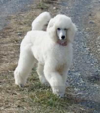 Sunridge Exquisitely Elegant Lilly, a white female Standard Poodle