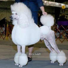 Mount Bethel's Polar Bear Midnight, CH, a white standard poodle