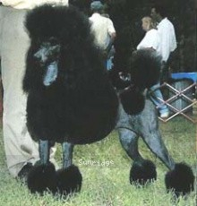 Comets TimberRidge Ready to Roll, CH, a blue standard poodle