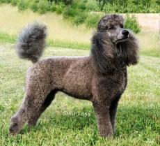Timber Ridges Always N Forever, a blue standard poodle