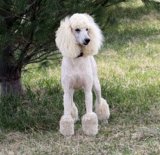 Sunridge Untouchable Elegance, a white female Standard Poodle