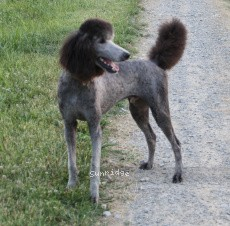 Sunridge Gallant Midnight Warrior, a silver standard poodle