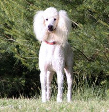Sunridge Unforgettable Dreamz, a white male Standard Poodle