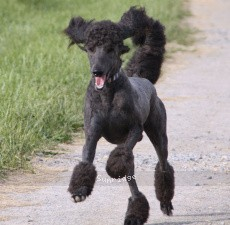 Sunridge Midnight Warrior, a blue male Standard Poodle