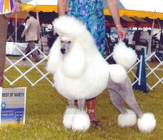 Comet's Timber Ridge Tiny Dancer, CH, a white standard poodle