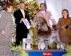 Comets Timber Ridge Moonshdw, Ch, a silver standard poodle