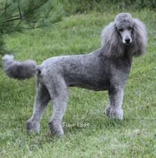 Sunridge Crystal Vision, a silver female Standard Poodle