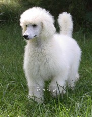 Brienwoods Goddess of the Moon, a white standard poodle
