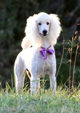 Sunridge Exquisite Dreamz, a white standard poodle