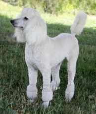 Sunridge Vision In the Moonlight, a white female Standard Poodle