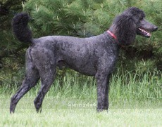 Sunridge Midnight Blue, a blue male Standard Poodle