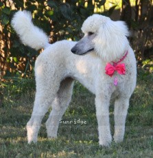 Sunridge Princess in the Moonlight, a white female Standard Poodle