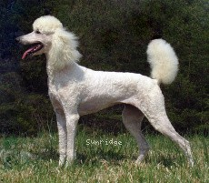 Sunridge Exquisite Lilly of the Stars, a white standard poodle
