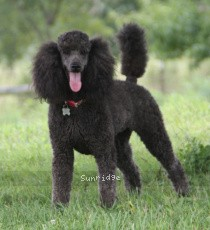 Sunridge Untouchably Exquisite, a silver standard poodle