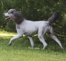 Sunridge Untouchable Vision, a silver standard poodle