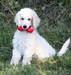 Rhiannon, a white standard poodle puppy